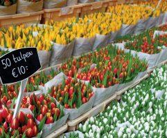 Тюльпаны_в_Амстердаме